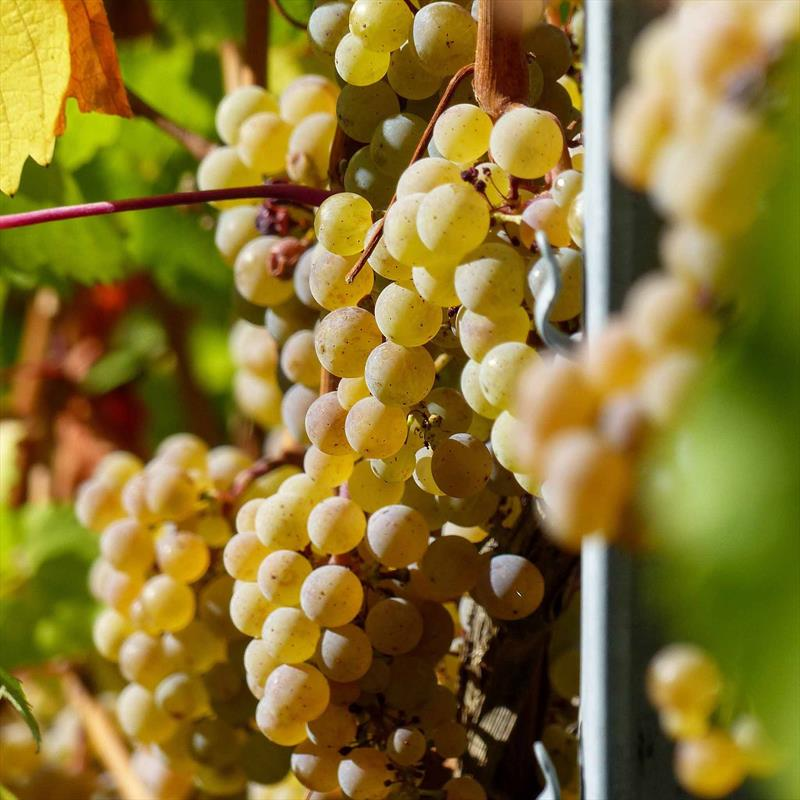 The Right Time for Riesling Image 1